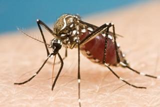 지카바이러스의 매개인 이집트 숲 모기. - flickr 제공